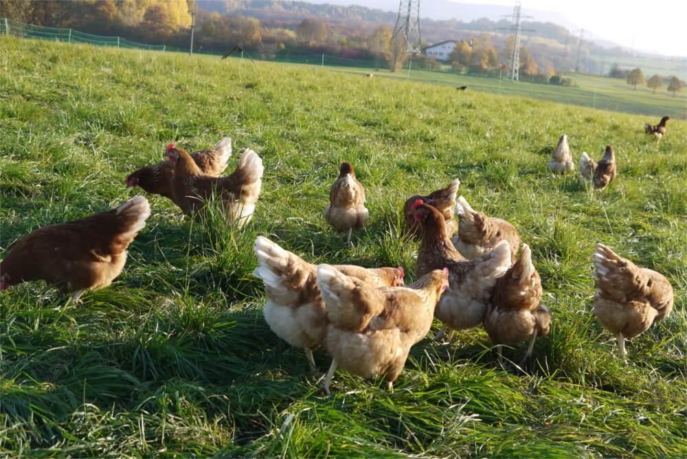 Hähnchen vom Hof Kasch